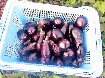 紫福茄子と水茄子