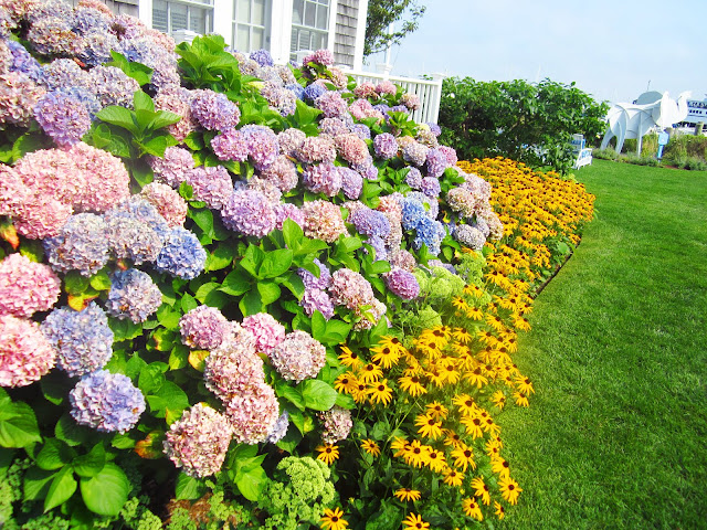 lawn with purple hydrangeas and black eyed susans