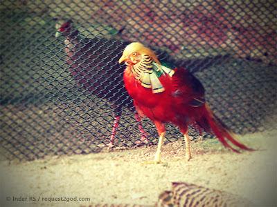 birds,pheasants, Golden pheasant, colorful golden bird