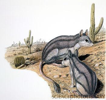 roedores prehistoricos de argentina Platypittamys