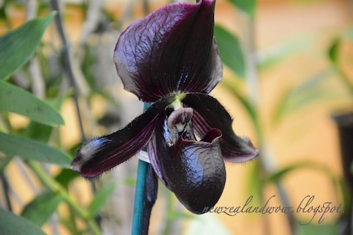Dark Beauty Orchid