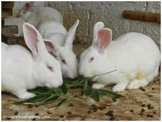 Conejos - Chacra Educativa Santa Lucía