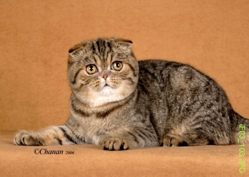 Mengenal Kucing Exotic Fold Kucing Gue