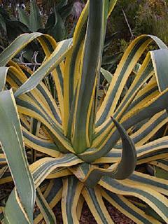 Jardineria, Catalogo de Plantas: Agave Americana