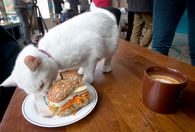 A cat smells a sandwich at the cat cafe in New York April 23, 2014. The cat cafe is a pop-up promotional cafe that features cats and beverages in the Bowery section of Manhattan.