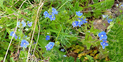 Living the life in saint aignan little blue flowers - What are blue roses called ...
