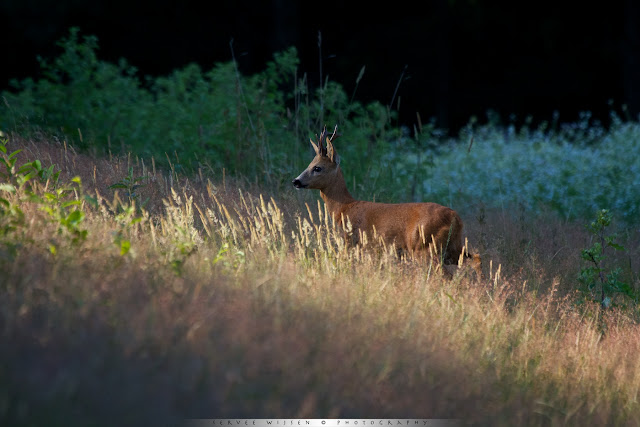 Reebok in gras - Roe Deer buck in grass - Capreolus capreolus