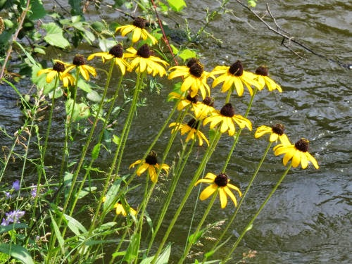 brown-eyed susans