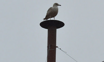 gull on papal chimney by Sam Jones, Guardian
