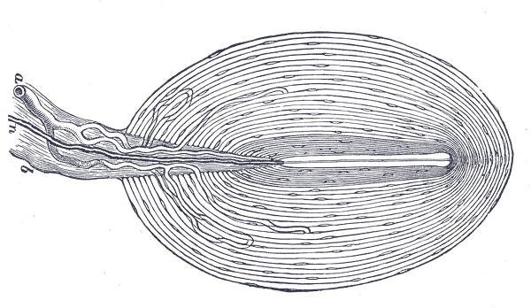 Where are the Pacinian corpuscles located?