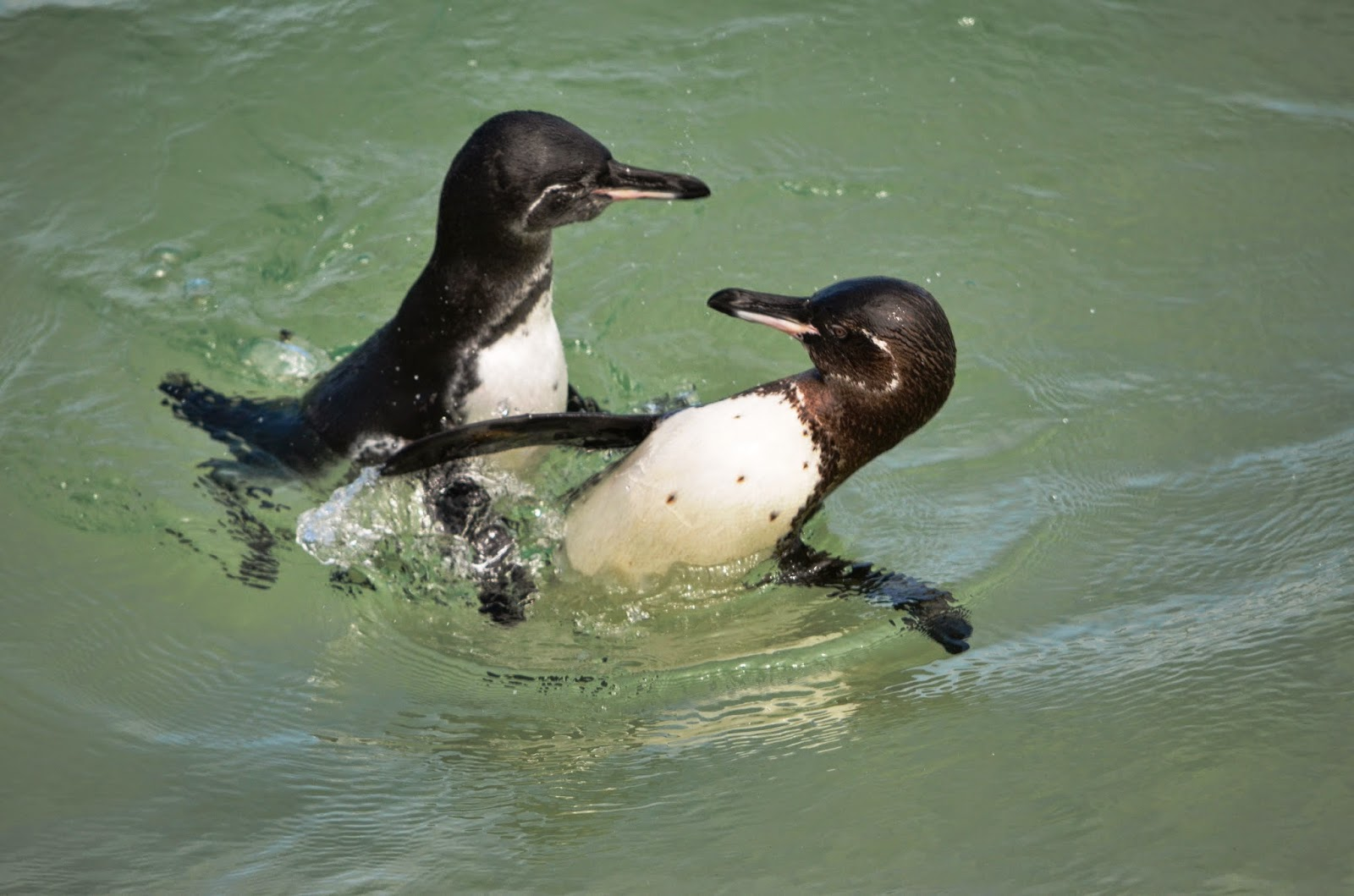 terrandes adventure ecuador galapagos reisen gal pagos pinguin. Black Bedroom Furniture Sets. Home Design Ideas