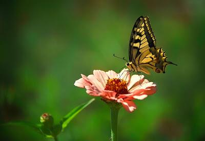 Mariposa recogiendo miel de las flores en primavera