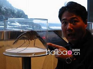 Nyamuk 40cm, Paling Besar di Dunia