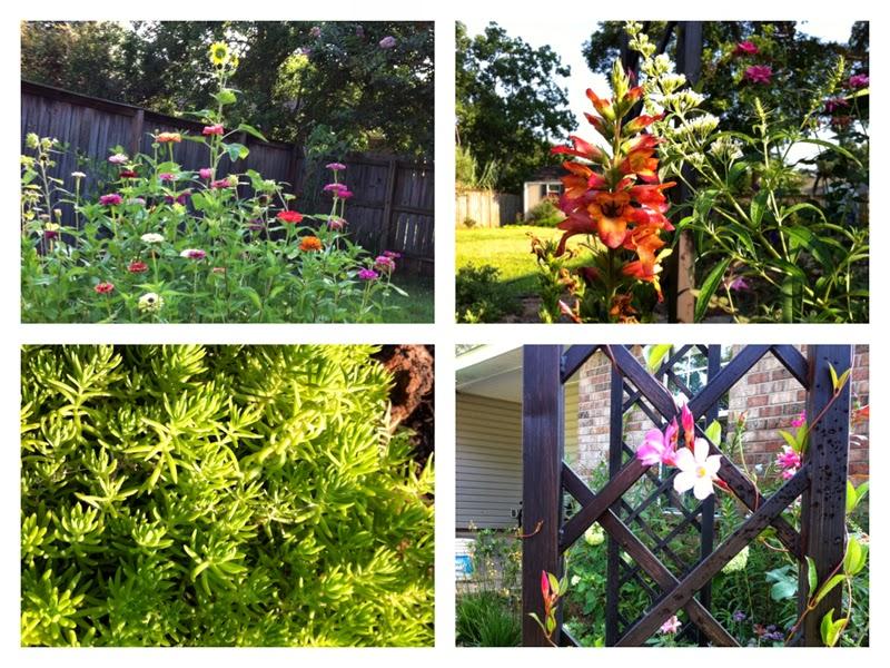 gulf coast, gardening, zinnias, sunflower, digiplexis, trellis, arbor, mandevilla, sedum