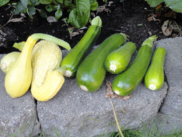 Zucchini-and-Summer-Squash-with-Ginger-and-Garlic-Garden.jpg