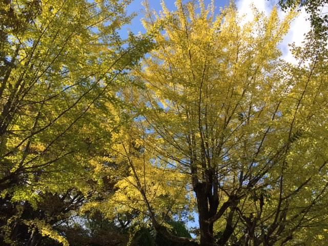 Ginkoträd