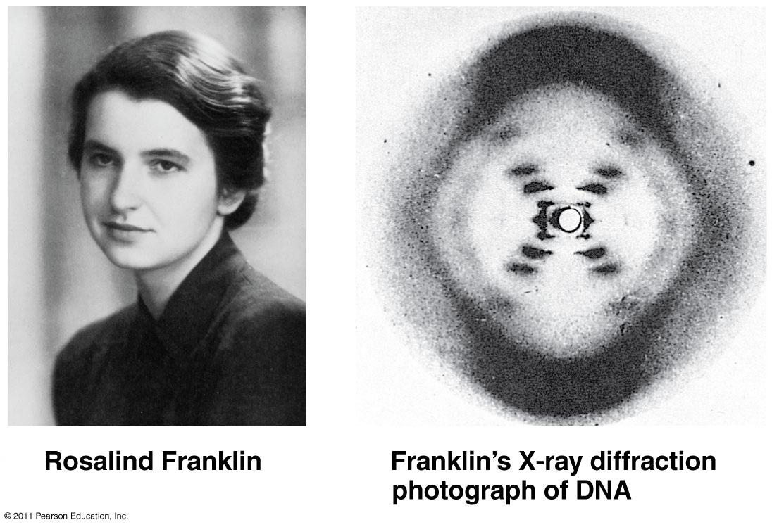 rosalind franklin Biografías ensayos: rosalind franklin biología inglaterra 1920 - 1958 rosalind nació en inglaterra el 25 de julio de 1920 rosalind franklin se graduó de la.