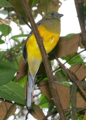 Orange-breasted Trogon (Harpactes oreskios)