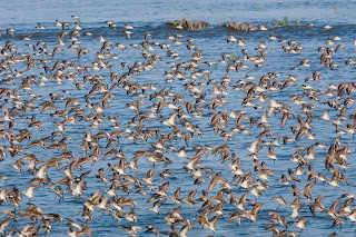 Image of Western Sandpipers at Panama Bay