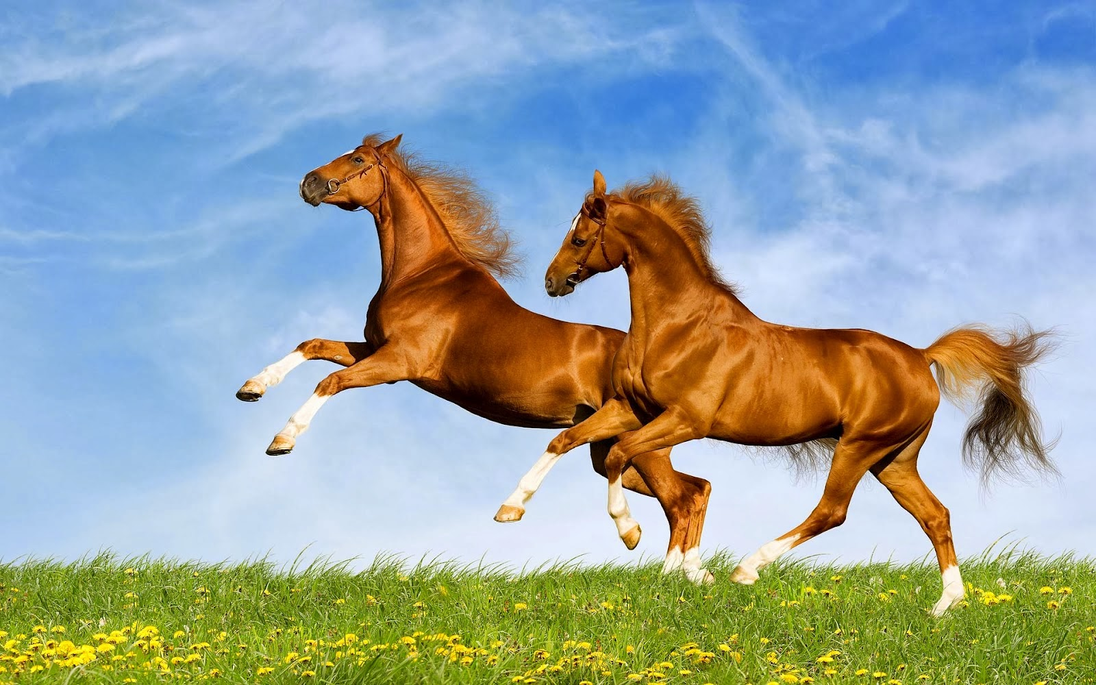 Download   Wallpaper Horse Couple - horse+wallpapers+hd+(11)  Snapshot_447988.jpg