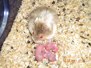 Just born hamster babies with their mom