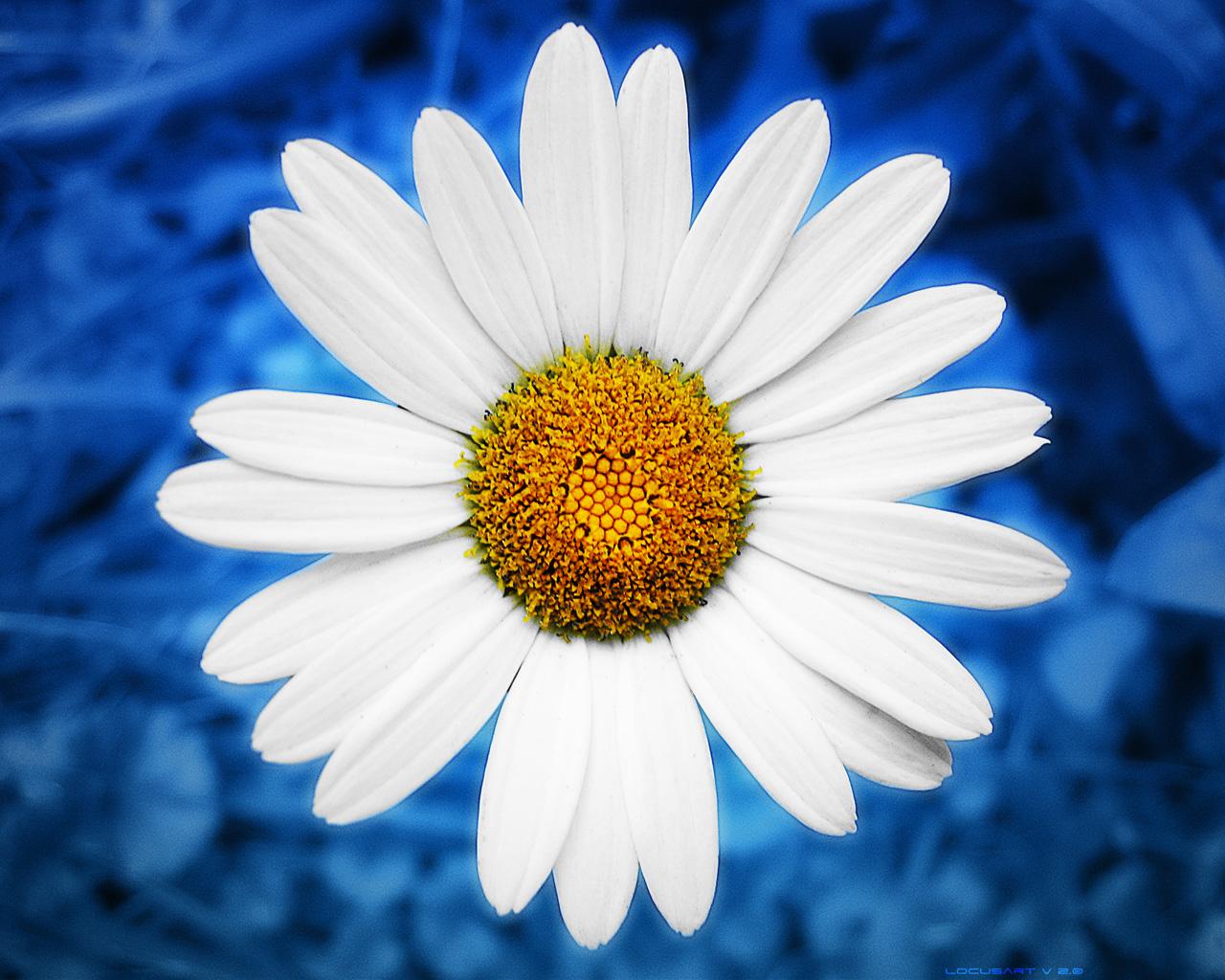 Liana Conis Blog Daisy Wallpaper Hd