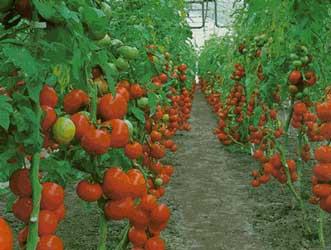 Hortali as e vegetais de a z letra t for Asociacion de cultivos tomate