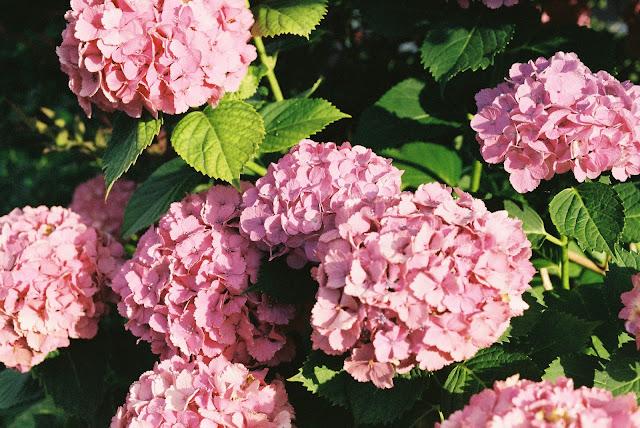 pink hydrangeas before sunset
