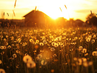 Dandelions Meadow Sunlights Behind Cottage Photography Wallpaper