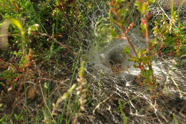 En op een ander plekje zat deze harige spin in een web, waarschijnlijk ...: gonnievandeschans.blogspot.com/2012/09/spinnenplaag.html