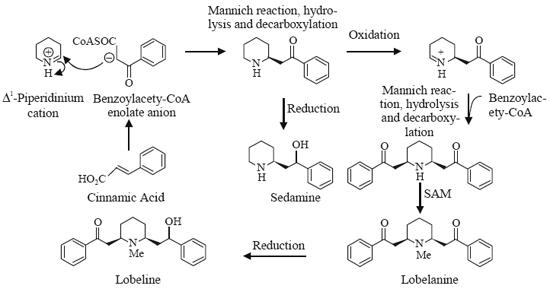 Mannich reaction. Both lobeline and lobelanine