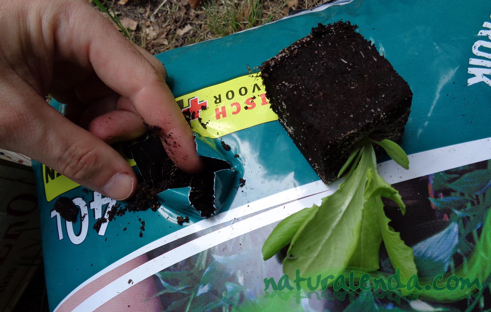 plantando la lechuga