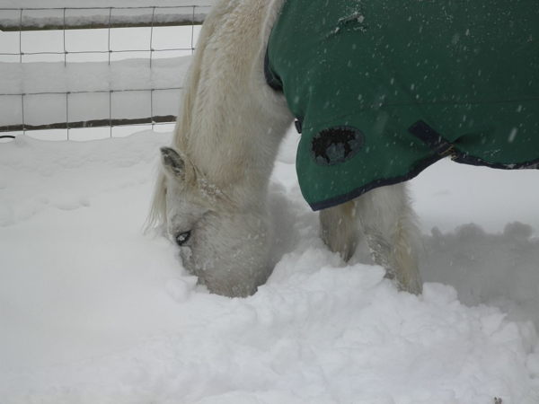 Highland ponies are resourceful and the snow was getting thicker