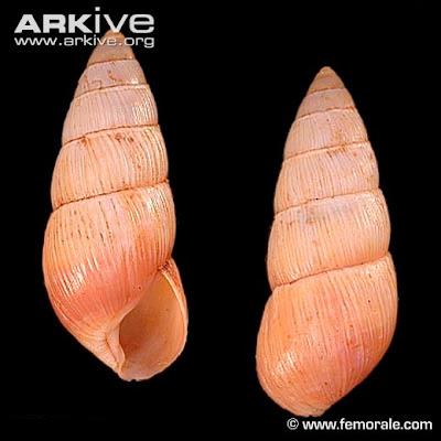 Caracol terrestre amastrid Carelia sinclairi