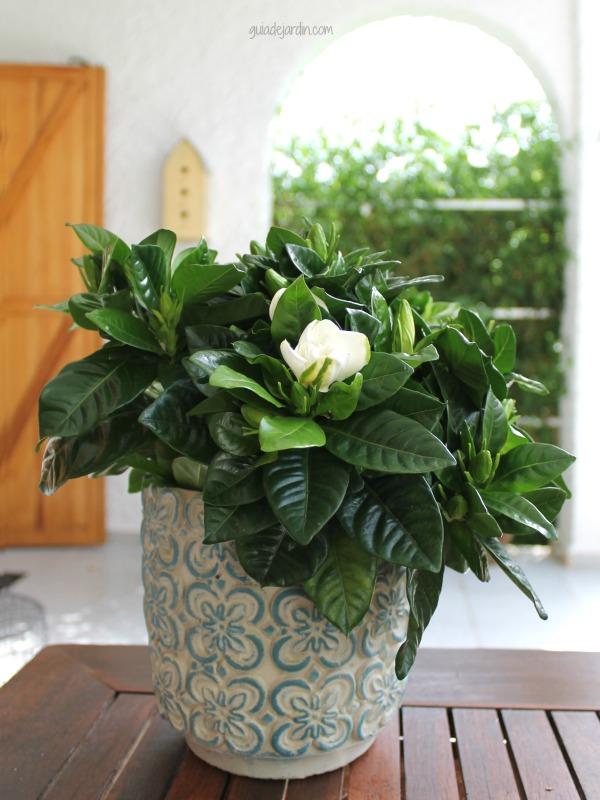 Planta de gardenia