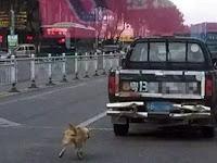Sadis, Pengemudi Ini Seret Anjing Hingga Tewas