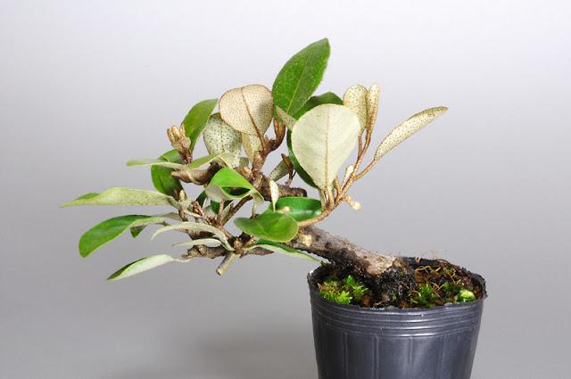 カングミ T(寒茱萸盆栽)Eleagnus pungens bonsai