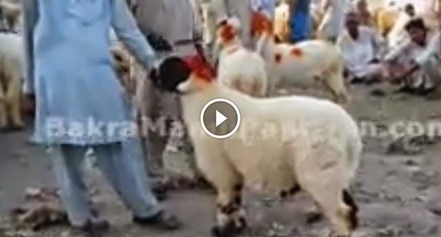 """Cow Mandi 2014 """"Chatron Ki Hair Cutting"""" For Qurbani 2014 ..."""
