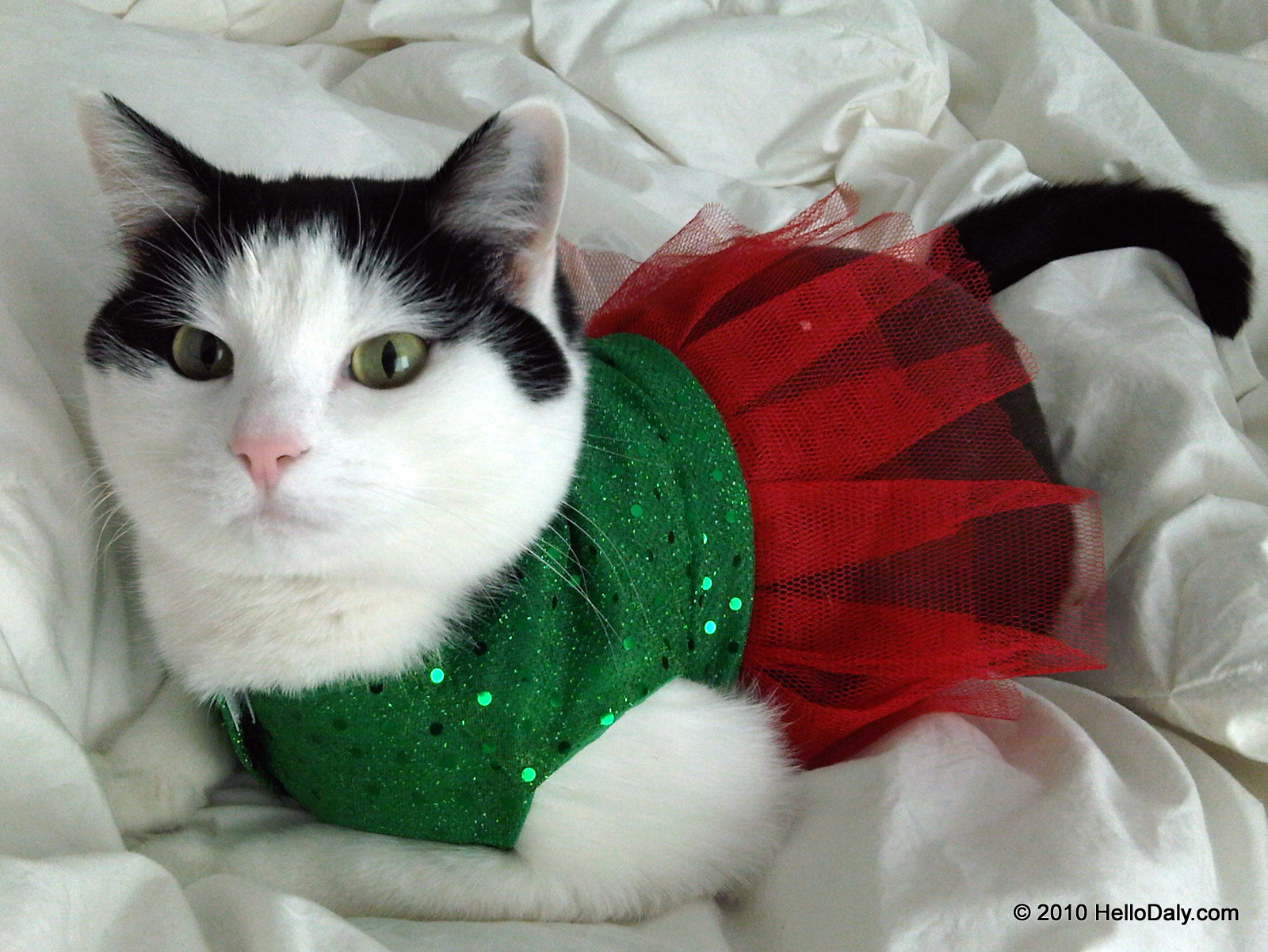Very Funny Christmas Cat Pictures
