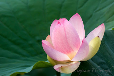 Nelumbo nucifera Floare de Lotus flower Lotosblume λωτόςλουλούδι fiorediloto flordelótus flordeloto lótuszvirág