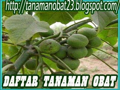 Tanaman Obat Jarak (Ricinus communis Linn.)