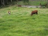Vamos voltar a criar gado