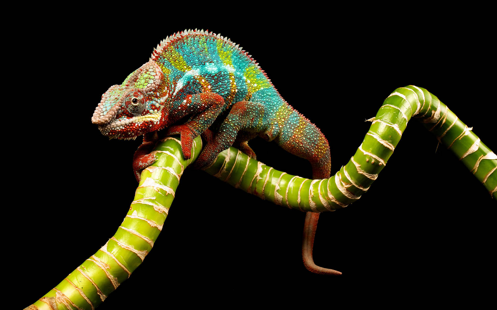 Tag: Chameleon Wallpapers, Backgrounds, Photos,Images and Pictures for ...