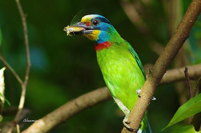 雞南山的五色鳥。Pentax DA*200