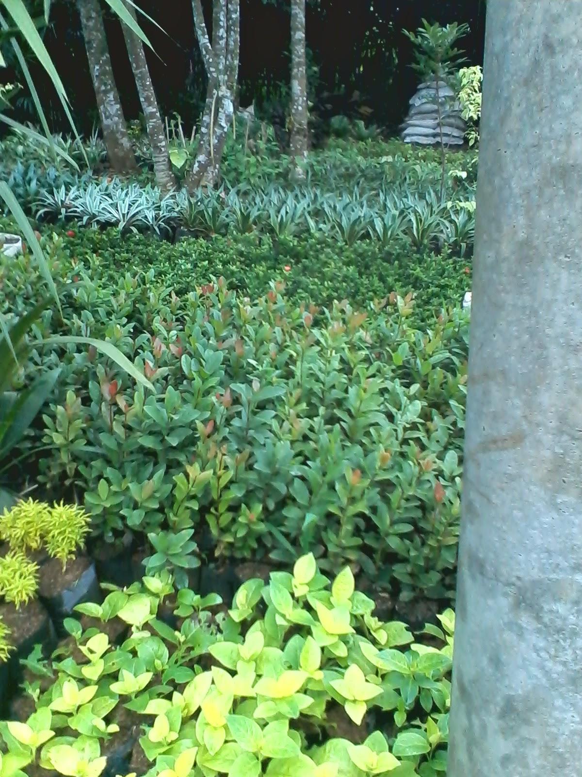 Contoh Hasil Desain Taman Apotik Hidup 2017