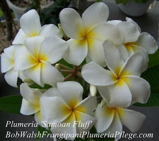 Plumeria 'Samoan Fluff'