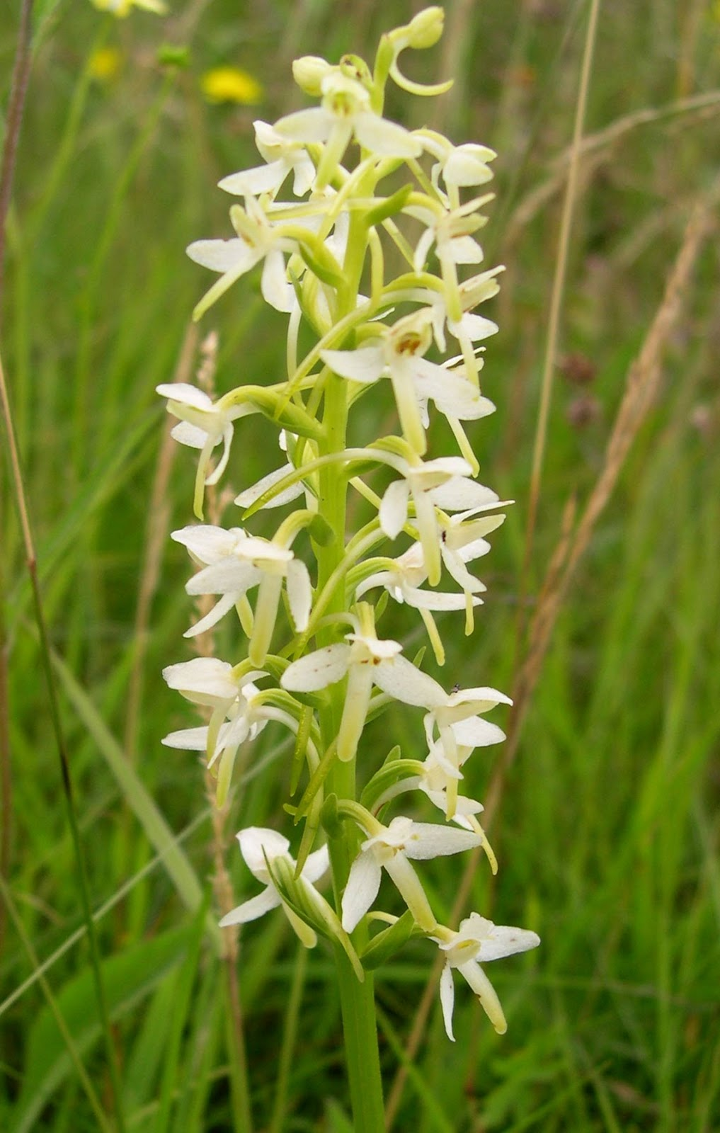 Butterfly Orchid Plant
