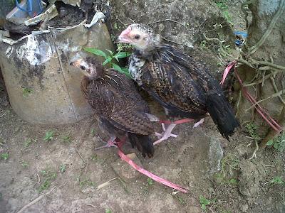 Dua Ekor Ayam Yang Siap Beryadnya Pada Upacara Tiga Bulanan Agus Wahyu