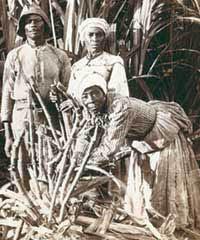 Esclave champs de cannes