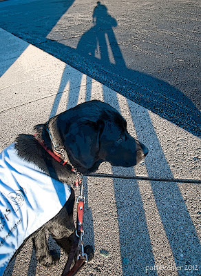"A black lab/golden mix year old dog with a blue ""This puppy being raised for Leader Dogs for the Blind"" jacket on, with a long shadow of a person and the dog stretching out to the top of the photo."